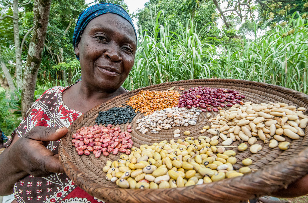 Drought-Resistant and High-Iron Beans Released in Uganda