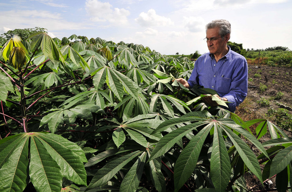 Boosting Cassava Productivity in the Colombian Caribbean