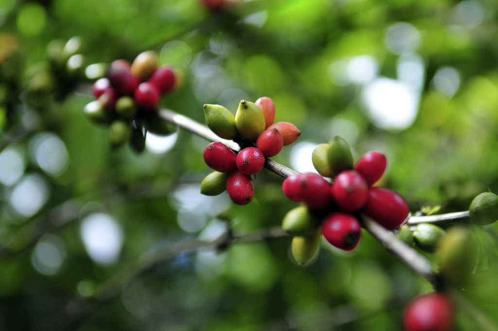 Central America's bean and coffee production threatened by climate change