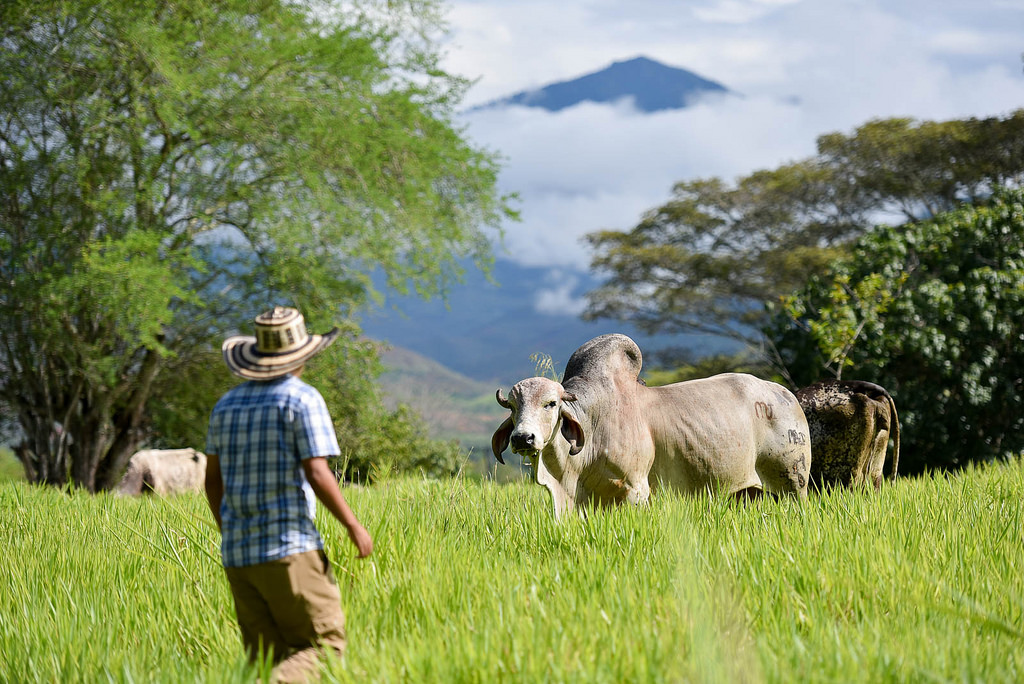 Silvopastoral systems – an option for sustainable livestock in post-conflict Colombia