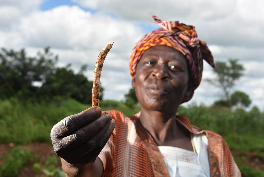 """Magic beans"" beat Malawi's worst drought in 30 years"