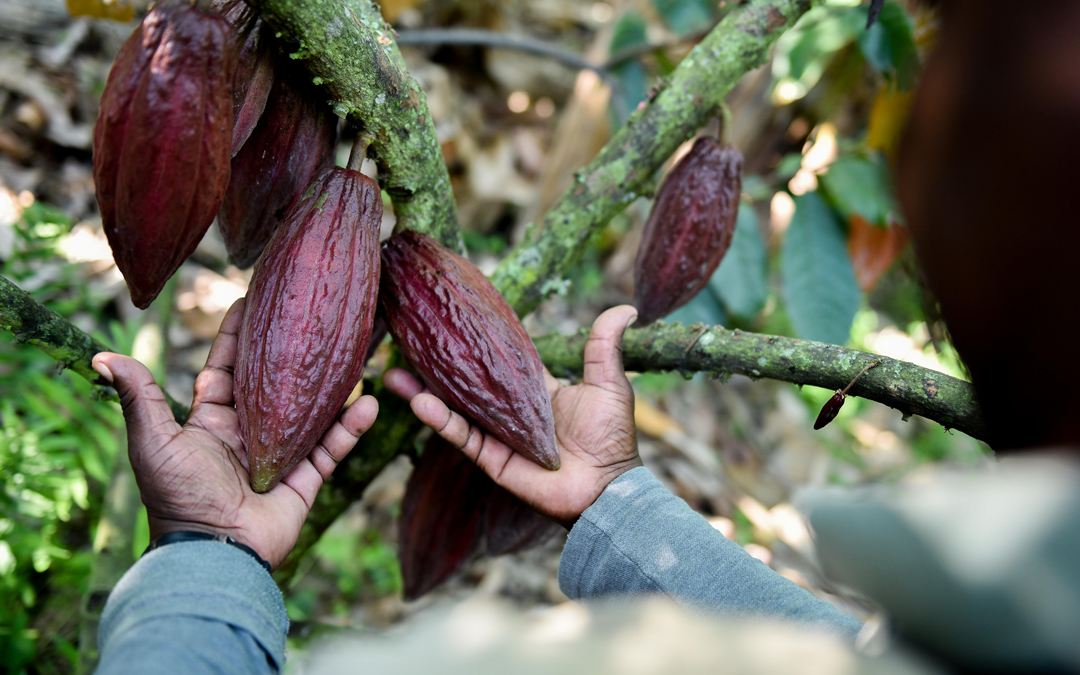 "Major Chocolate Company Receives ""Wake-up Call"" from CIAT's Science in Climate Change"