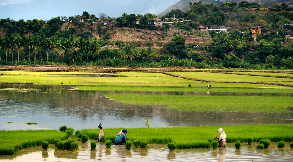 Strengthening Rice Crops through Improved Varieties in Peru